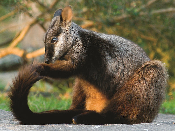 brush-tailed-rock-wallaby-29a