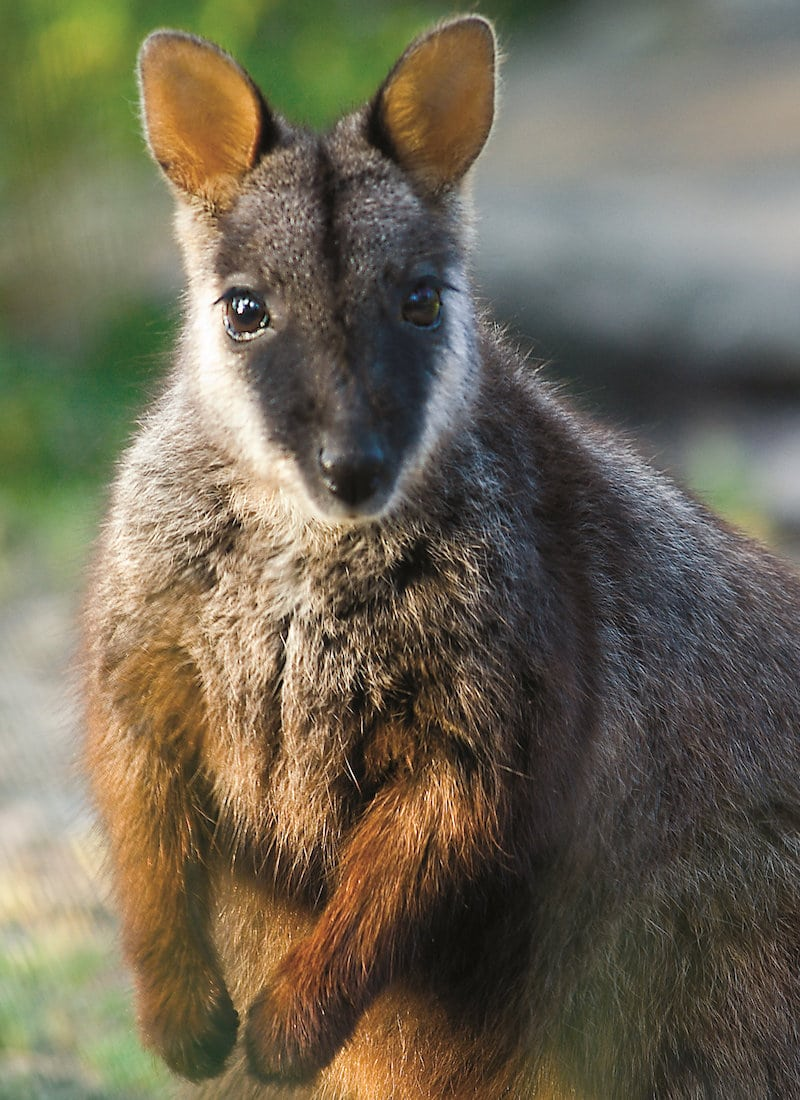 Learn About The Rock Wallaby Friends Of The Brush Tailed Rock Wallaby