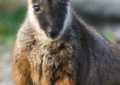 brush-tailed-rock-wallaby-nsw