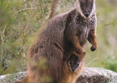 brush-tailed-rock-wallaby-and-joey
