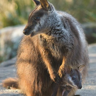 Nibbler - Adopt a brush-tailed rock-wallaby