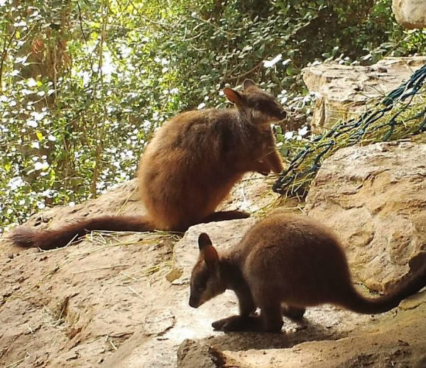 Bangarra - Adopt a brush-tailed rock-wallaby
