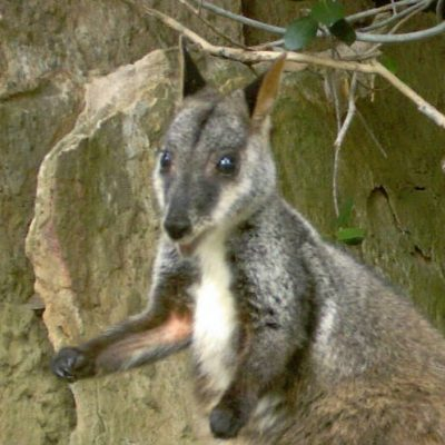 Pinot - Adopt a brush-tailed rock-wallaby
