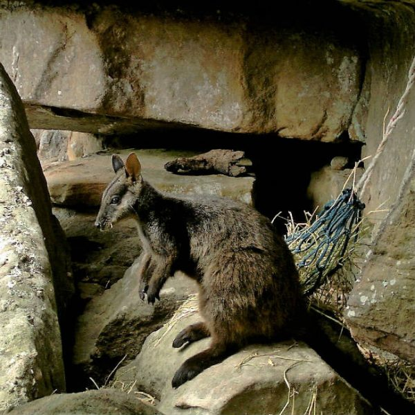 Wirra - Adopt a brush-tailed rock-wallaby