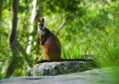 brush-tailed-rock-wallaby-on-rock
