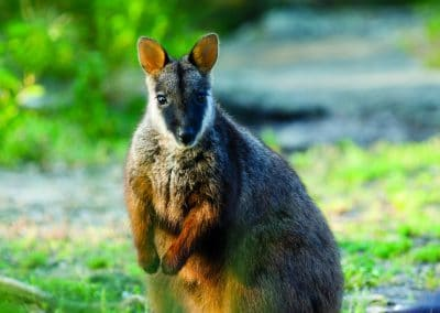 brush-tailed-rock-wallaby-13