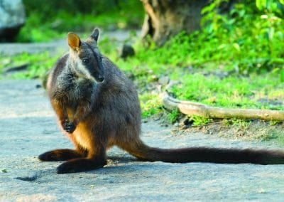 brush-tailed-rock-wallaby-14