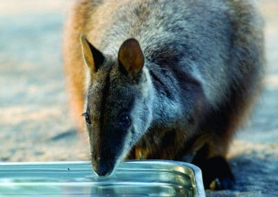 brush-tailed-rock-wallaby-15-drinking