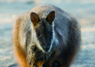 brush-tailed-rock-wallaby-16