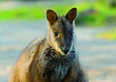 brush-tailed-rock-wallaby-17