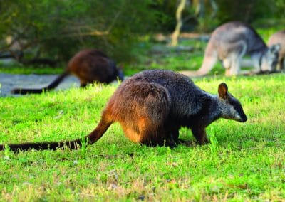brush-tailed-rock-wallaby-19