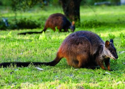 brush-tailed-rock-wallaby-21