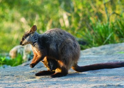 brush-tailed-rock-wallaby-22