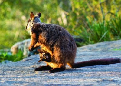 brush-tailed-rock-wallaby-23