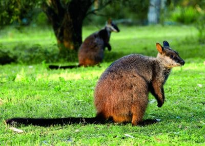 brush-tailed-rock-wallaby-24