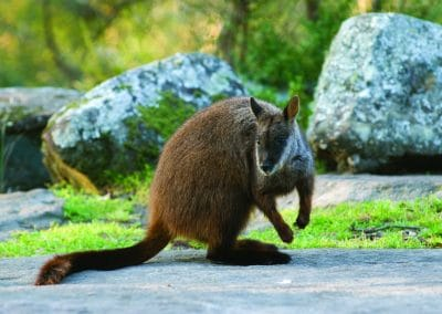 brush-tailed-rock-wallaby-25