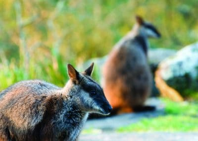 brush-tailed-rock-wallaby-27