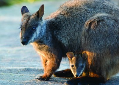brush-tailed-rock-wallaby-28
