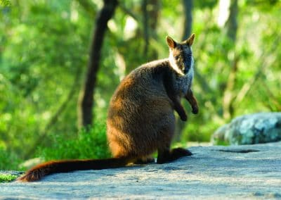 brush-tailed-rock-wallaby-8
