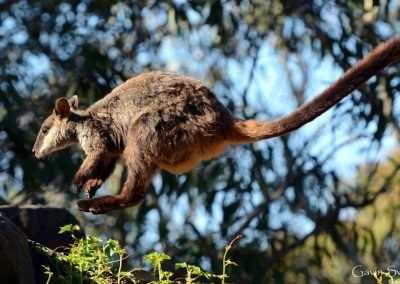 flying-brush-tailed-rock-wallaby