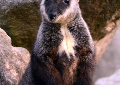front-on-brush-tailed-rock-wallaby